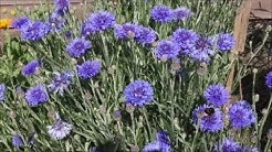 How to Grow Cornflowers from Seed