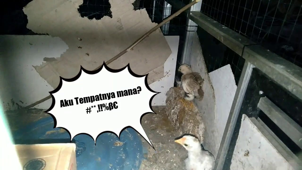 (Ternak Ayam) Lucu, Kehilangan Induk Anak Ayam Cari Hangat ...