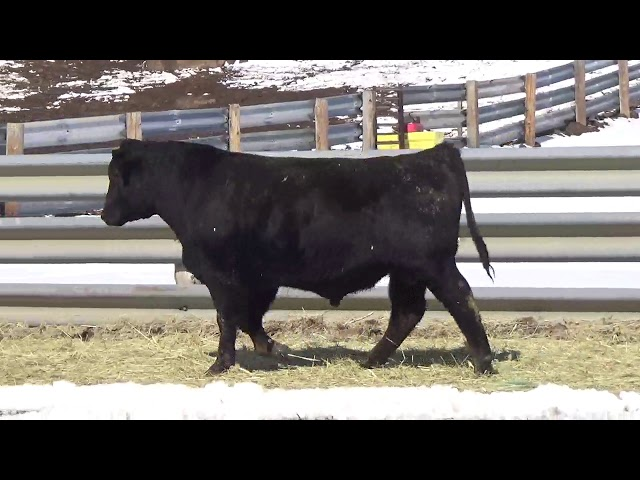 Connealy Angus Lot 419