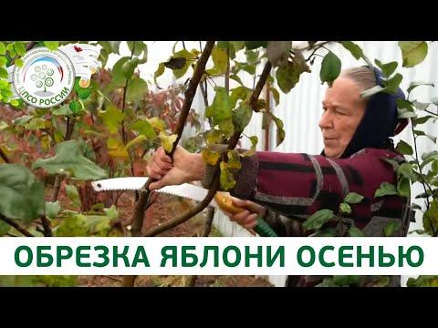 Обрезка яблони. Как обрезать плодовые деревья осенью.