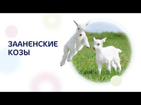 Нежное детское питание на козьем молоке Kabrita®.