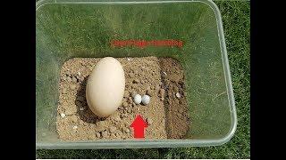 Small Eggs Hatching || Lizard eggs hatching  #LizardEggsHatching