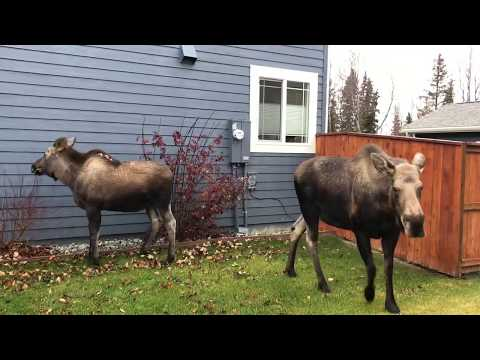 Mommy & Baby Moose Visit My Home - Anchorage Alaska