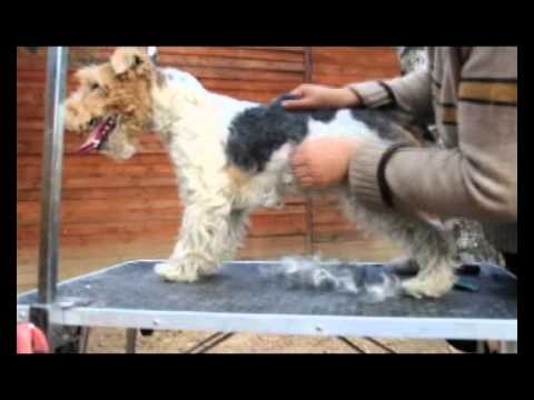 Wire Fox Terrier trimming