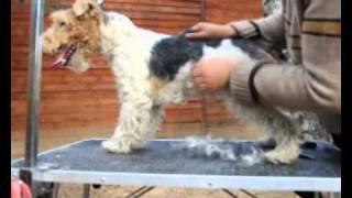 Тримминг фокстерьера. Wire Fox Terrier trimming