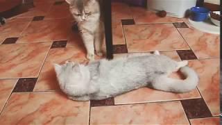 Брачные игры кошек