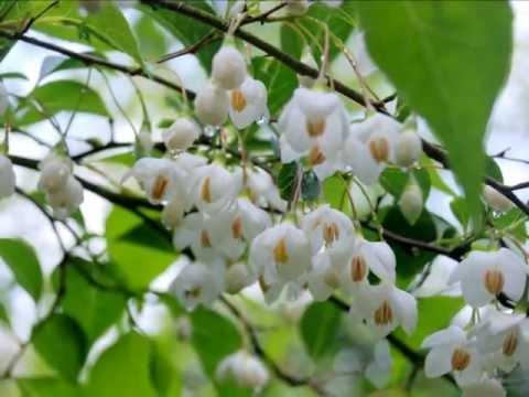 Styrax Japonica (Snowbell Tree)