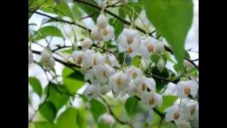 Styrax japonica video
