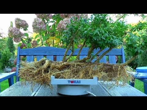 Buchsbaum Buxus Bonsai Floßform