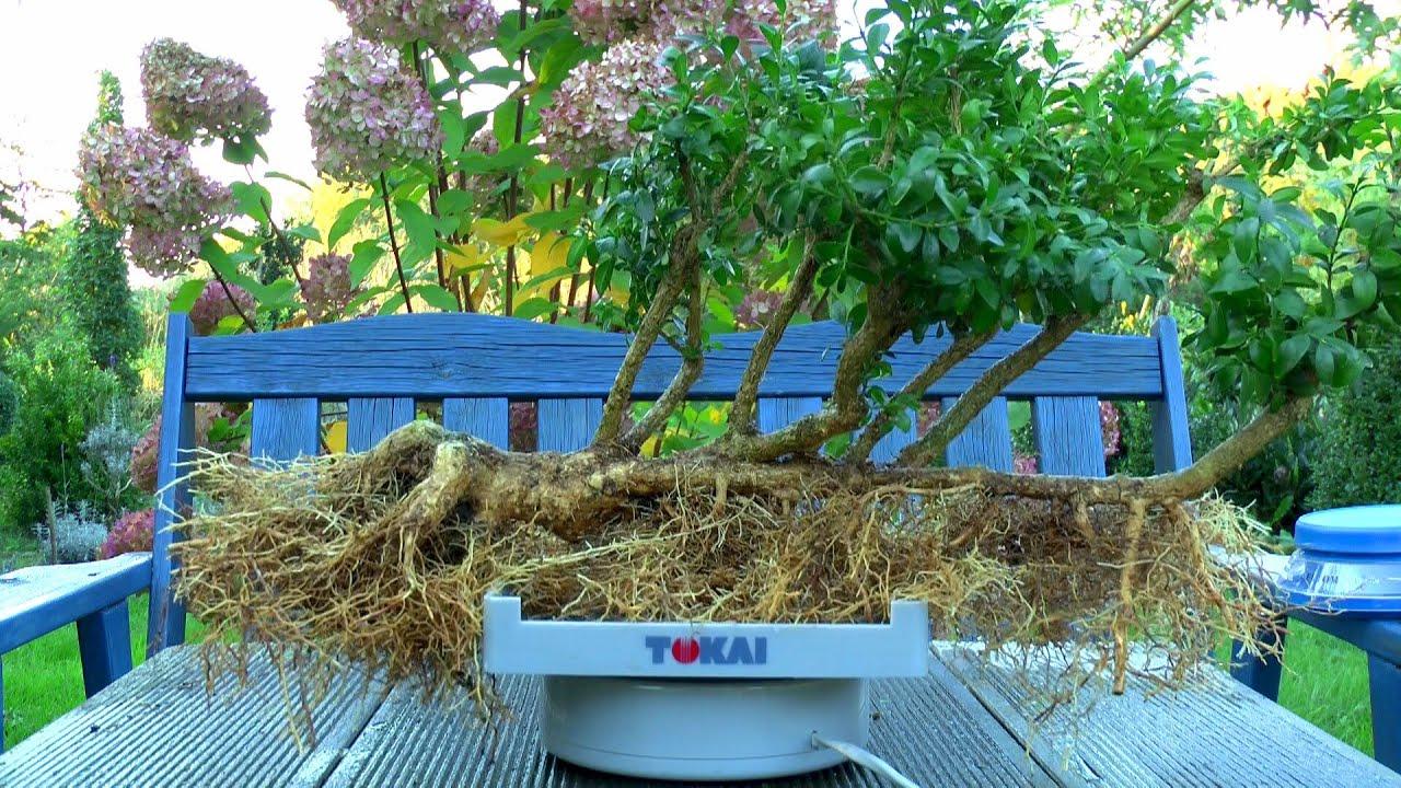 buchsbaum buxus bonsai flo form youtube. Black Bedroom Furniture Sets. Home Design Ideas