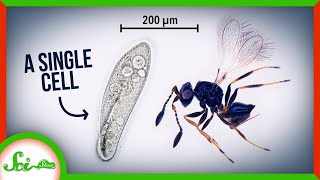 These Insects are Smaller than a Single Cell...How?!