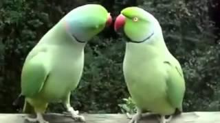 zakochane papugi rozmawiają ze sobą