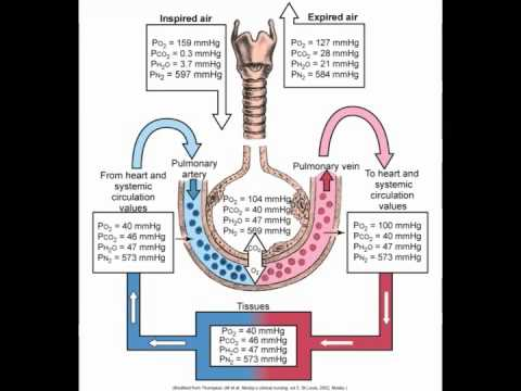 Pulmonary Structure And Function Youtube