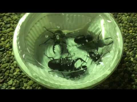 クワガタ/カブトムシを簡単に採る方法、2017.06.28