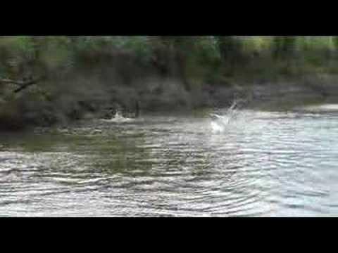 Wild Jumping Carp On Illinois River