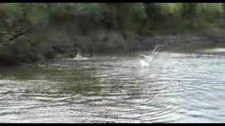 Wild Jumping Carp On Illinois River