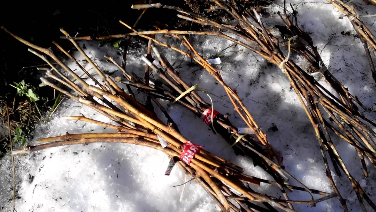 После первого снега заготавливаем черенки