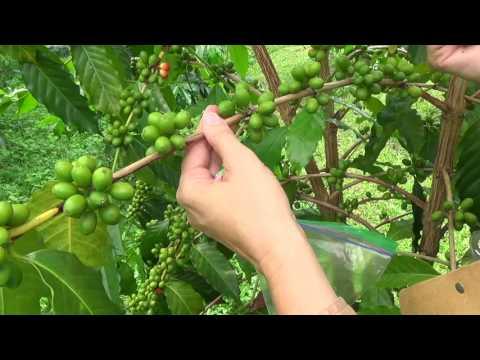 Coffee Berry Borer IPM - 30 Trees Sampling Method for CBB Monitoring - Part I