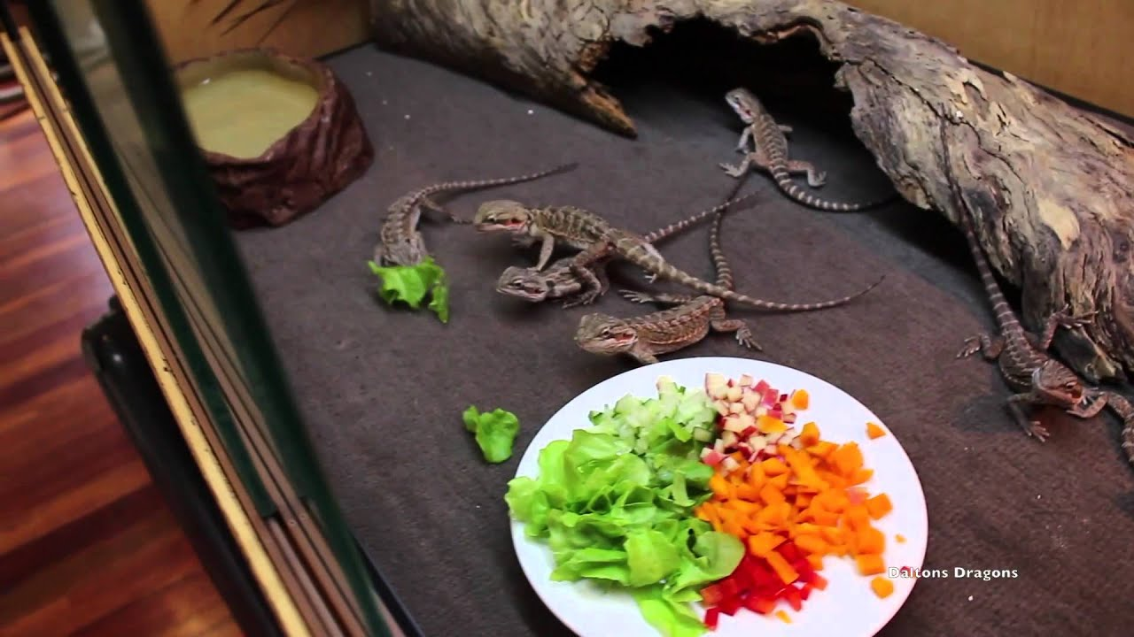 How To Get Baby Bearded Dragons To Eat Salad - YouTube