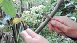 Altoire de toamna -autumn grafting tree