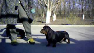 Щенки таксы. http://dog-service-lg.narod.ru Тел. в Украине +3-8-097-322-15-91