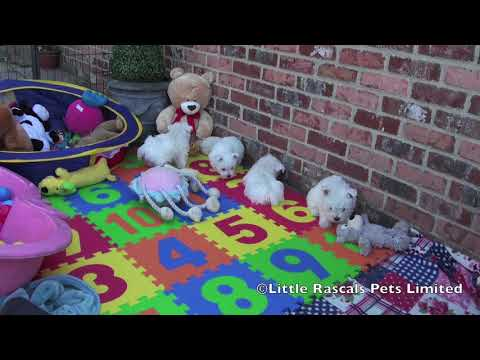 Little Rascals West Highland White Terrier Puppies