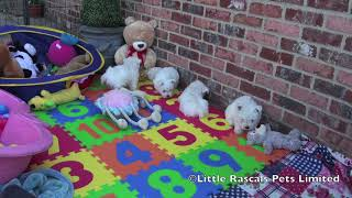 Little Rascals West Highland White Terrier Puppies
