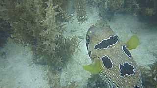 Короткошипая рыба-еж