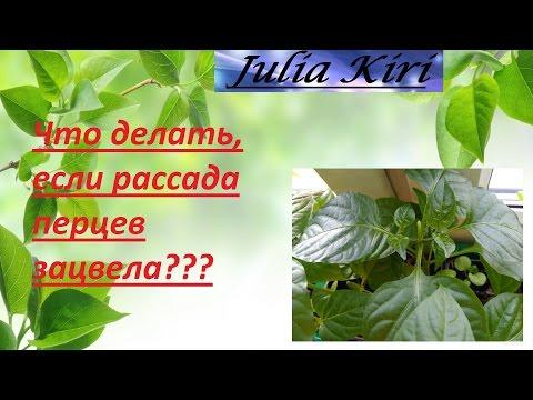 Что делать, если рассада перцев зацвела? What to do if seedling peppers bloomed?