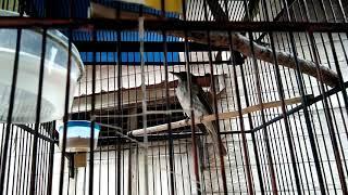 Download Mp3 Masteran Burung Cucak Rawis Gacor,tetap Eksis Di Video