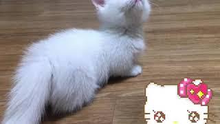 Munchkin Cat.
