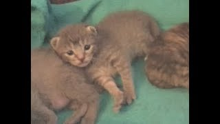 Kitten Recovering From Paw Amputation - #5 - Rescue Kittens Socialization