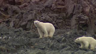Polar Bears - Nunavut, Canada