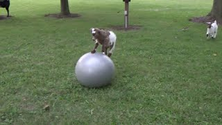Baby Goat Loves Ball