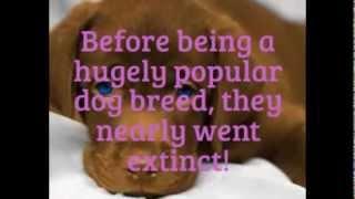 20 Fun Facts About Labrador Retrievers!