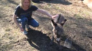 Baby miniature donkey at Three Creeks Farm in Tennessee