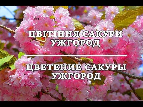 Цветение сакуры Ужгород   цветущее Закарпатье 777 тур