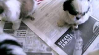 filhotes após a feira de criciuma março 2011