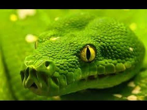 Самые опасные змеи на планете HD