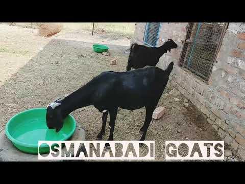 Pure Osmanabadi Goats at Shakti Goat Farm Basmat
