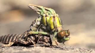Микросъемка рождение стрекозы