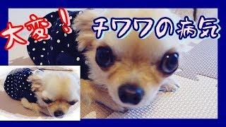 ある日突然です!オロオロしっぱなし・・・ヽ(TдT)ノ ~Chihuahua Cocon...