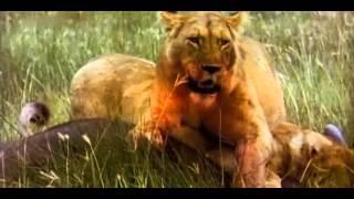 ✪✪ Raubkatzen - Jäger auf Samtpfoten (Doku deutsch) ✪✪