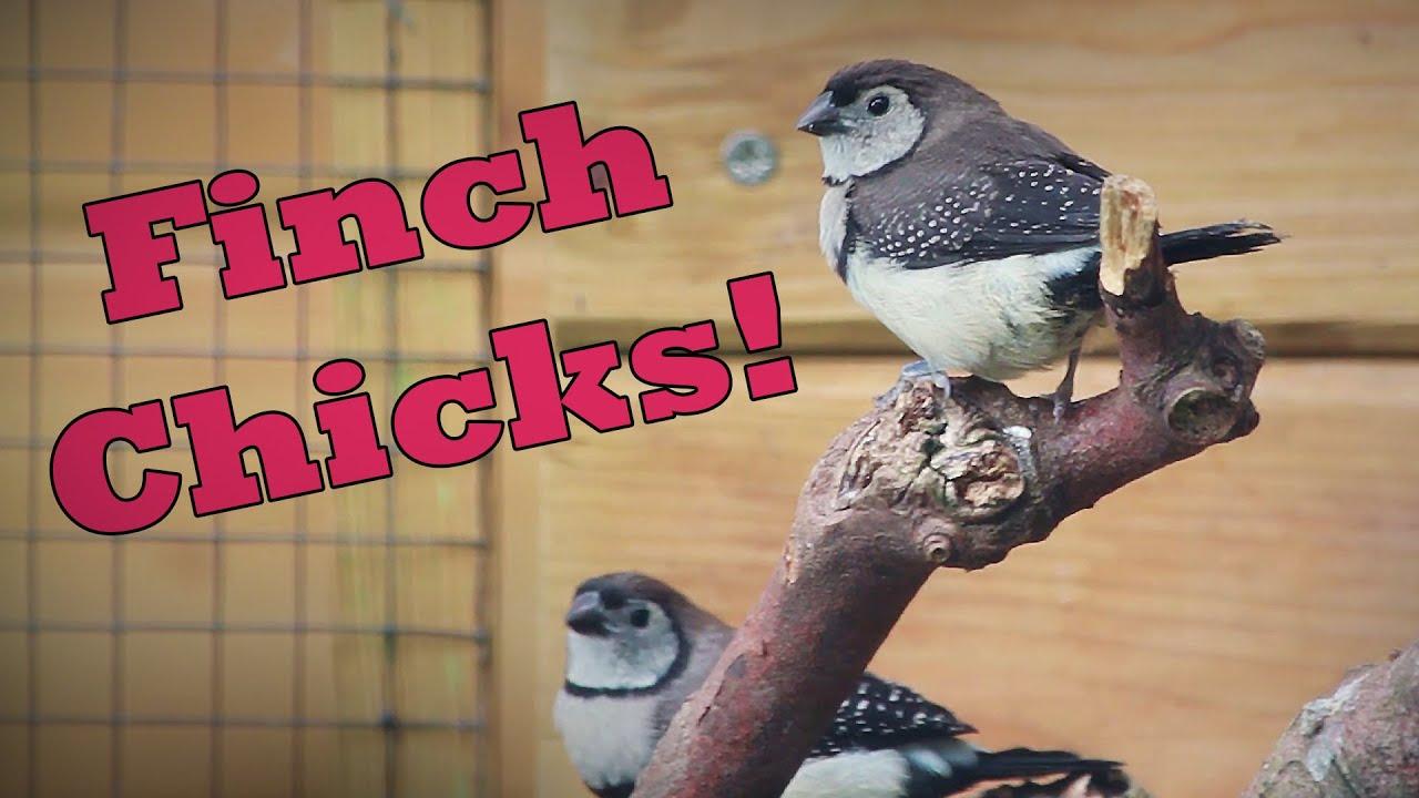New FINCH Fledgling Chicks in the Bird Aviary