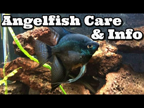 Angelfish Care & Information Freshwater Angelfish