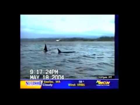 "KING 5 News (NBC Seattle): ""Transient Orcas Visit Dyes Inlet, Bremerton, WA"""