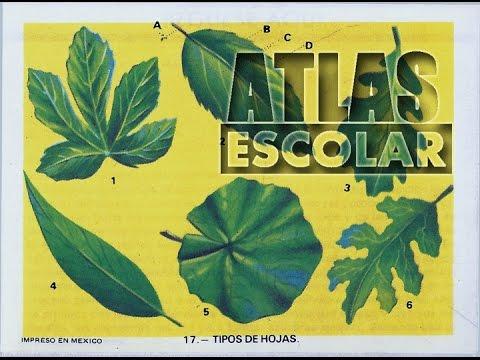 Estampa 17 cu les son los tipos de hojas y cuantos for Cuantos tipos de arboles hay en el mundo