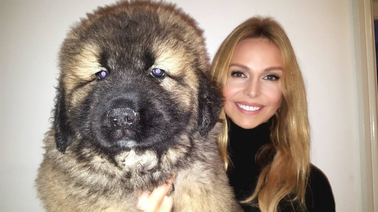 Caucasian Mountain Shepherd For Sale >> Wolf Killer Caucasian Shepherd Ovcharka Mountain Dog Puppies
