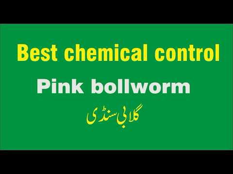 Pink boll worm best chemicals to control