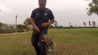 Pit Bull Training Los Angeles, Orange County And San Diego | Sandlot K9 Services